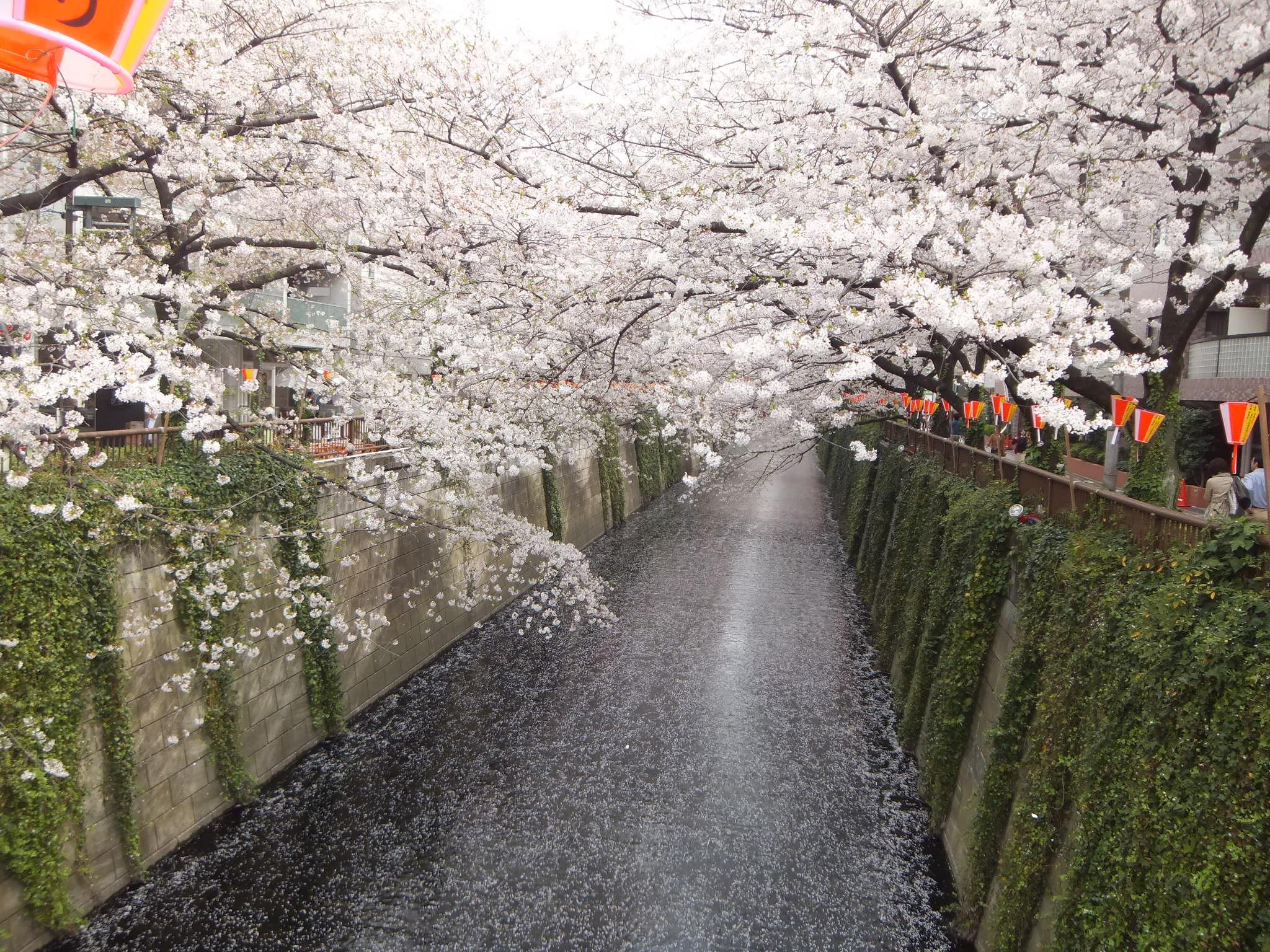 Sakura pic 2013